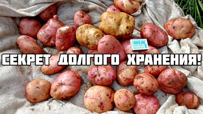 Секрет хранения картофеля до следующего лета без потери вкусовых качеств Как хранить картошку