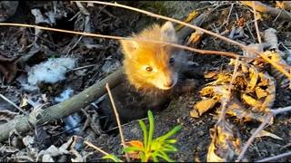 Poor baby Fox lost mom