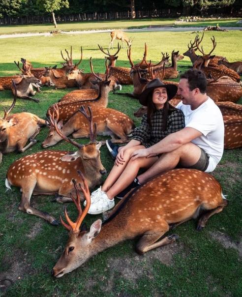 Сходка оленей в городе Нара (Япония).