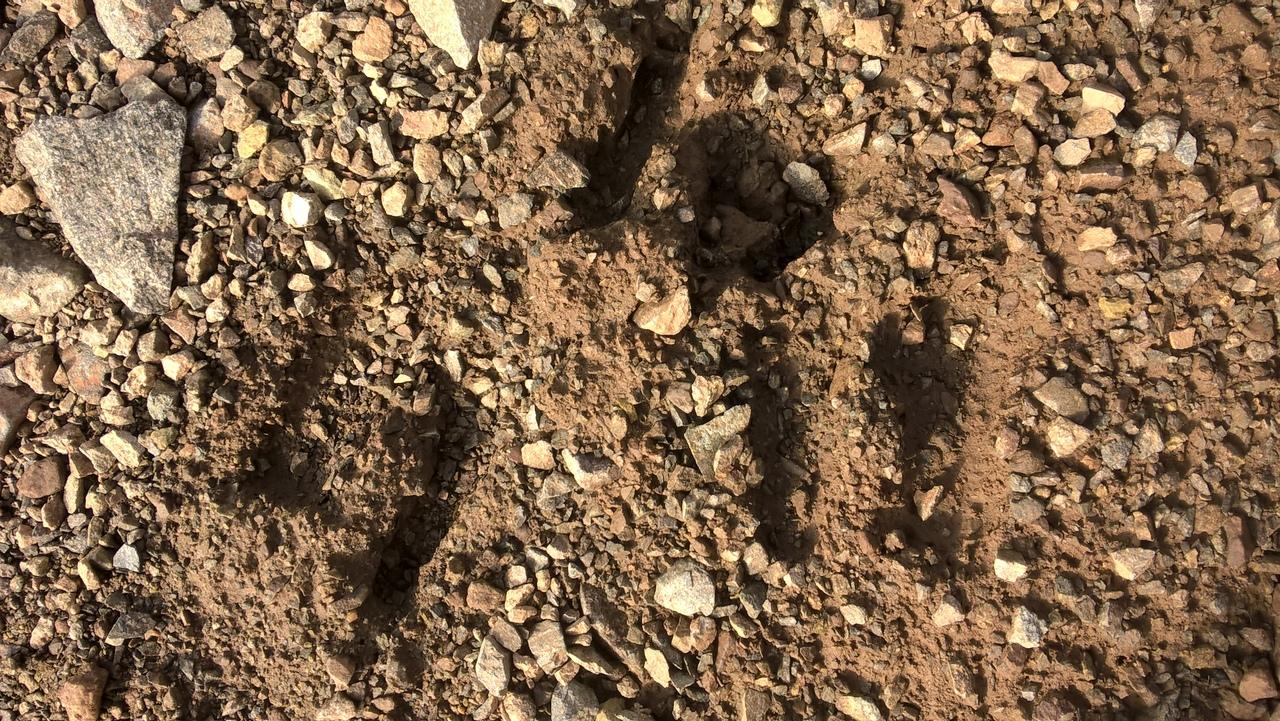 Следы горных козлов в горах Качкар