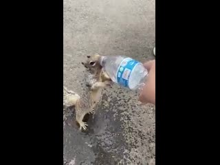 A THIRSTY SQUIRREL ASKING FOR WATER LIKE A SMALL KID... THE MOST AMAZING AND CUTEST THING