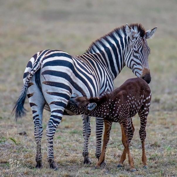 Единственная в мире зебра в горошек родилась в заповеднике в Кении. Жеребёнок зебры, который родился в заповеднике Маасай Мара в Кении, имеет одну особенность: его шкура покрыты точками, а не
