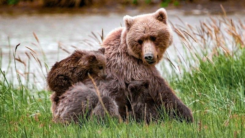 Медвежий угол Где в Беларуси можно увидеть диких Бурых медведей Film Studio Aves