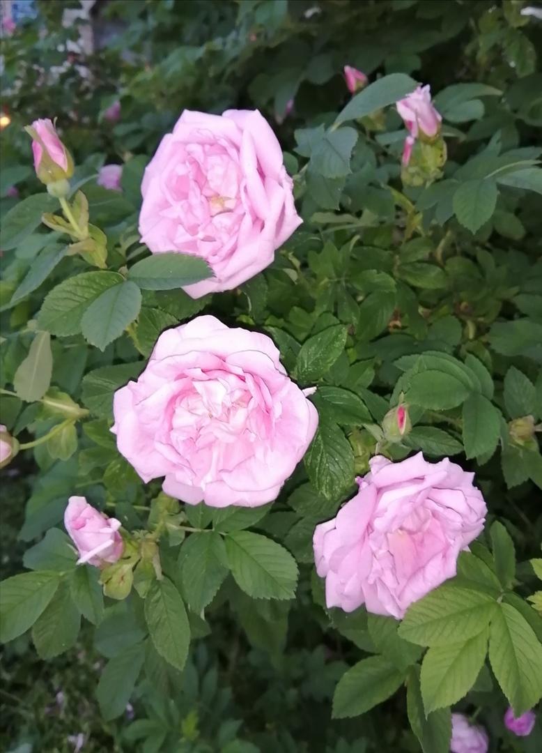ОНЛАЙН-УРОК по рисованию «Дикая роза», изображение №1