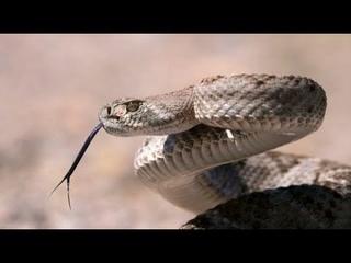 Гробовая змея, Левантская гадюка или Гюрза! Самая опасная змея на планете. Это интересно знать.