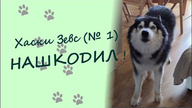 Хаски Зевс №1 НАШКОДИЛ Husky Zeus No 1 is guilty