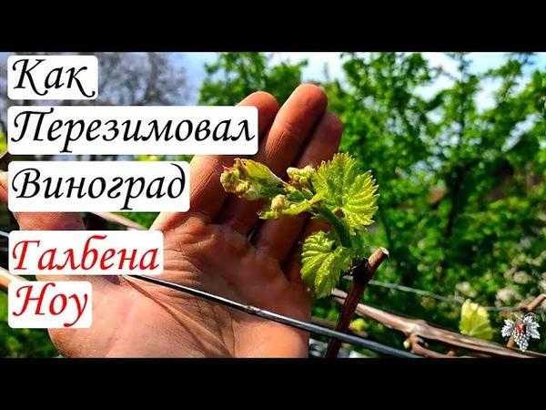 Как перезимовал виноград Галбена Ноу