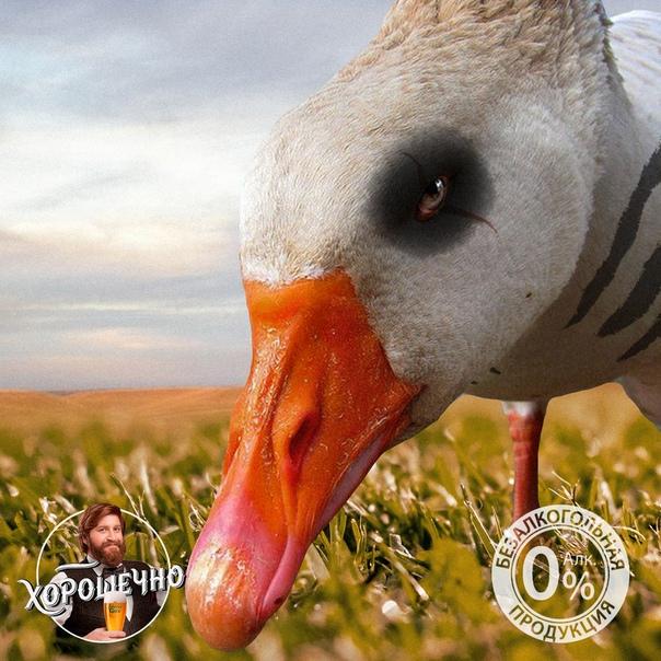 фото жатецкого гуся больной курицы наблюдается