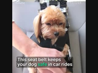 This seat belt keeps your dog safe in car rides.