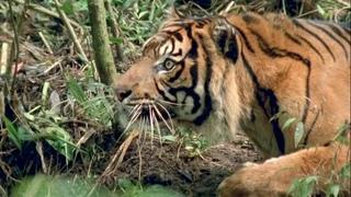 Суматранский тигр – самый опасный хищник джунглей! Необычайно агрессивный и редкий кот!