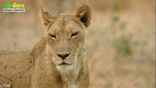 Африканские охотники-Гордость и предупреждение!