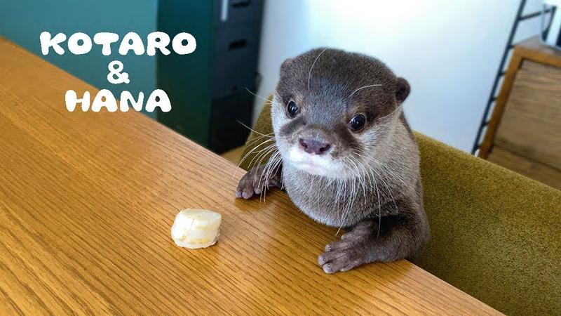 カワウソコタローとハナ ホタテの食べ方に個性が出る2人 Otter Kotaro Hana Good Table