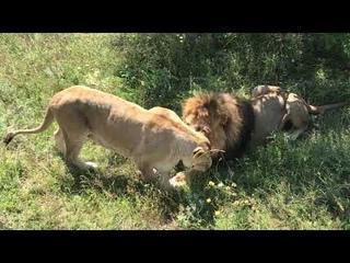 Очень дружные лев и львица! Тайган Very friendly lion and lioness! Taigan