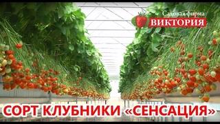 Земляника «Сенсация» от садовой фирмы «Виктория»