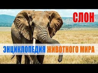 Слон   Энциклопедия животного мира