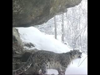 Рев снежного барса