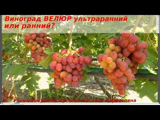 ВЕЛЮР - виноград с ультраранним или ранним сроком созревания? Будет ли ягода в 20 гр?