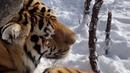 Как тигры ОХОТЯТСЯ НА КРОКОДИЛОВ!