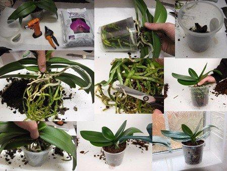 Как размножать орхидею фаленопсис Сохраняем, чтобы не потерятьРазмножить фаленопсис получится лишь в том случае, если она здорова, а также получает необходимые питательные вещества, достаточное