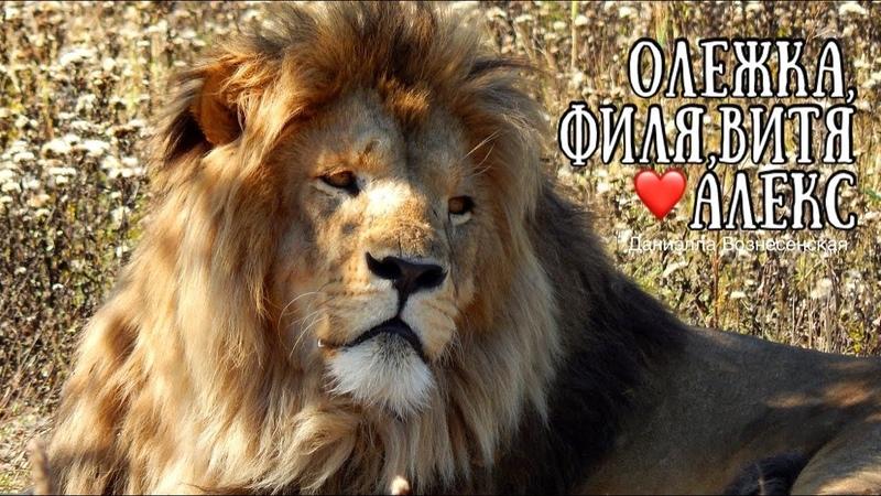 Олежка Филя Витя Алекс и девчонки ❤️ Дружный красивый прайд Тайган Life of lions Taigan