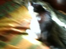наш кот Макс (на момент съёмки ему 9 лет) играет на моём диване