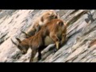 Ibex climbing on vertical wall (250m height)