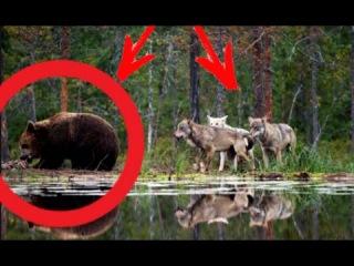 Волк учится у медведей ловить рыбу. Просто невероятное зрелище / Волк ловит рыбу