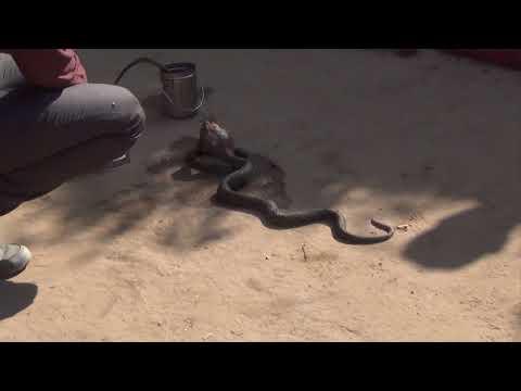Шарлатаны или заклинатели змей Навалгар, Раджастан, Индия