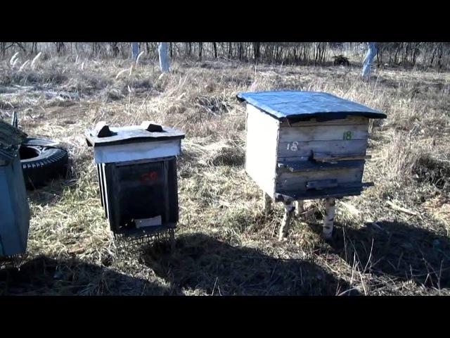 Первый облет молодых пчел весной