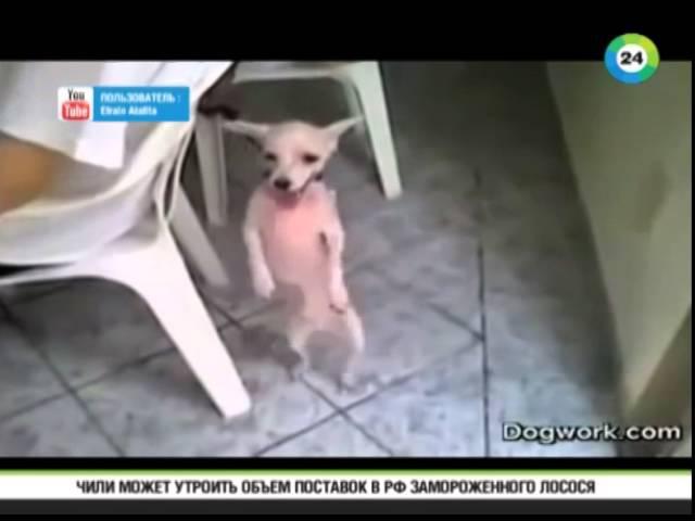Танцующий пес стал новым героем Интернета