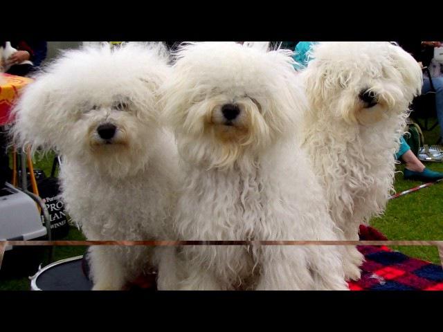 Порода собак Бишон хаванез Редчайшая порода Осталось очень мало