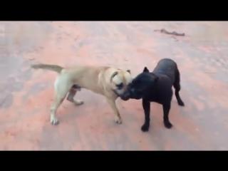 Собачьи бои кане корсо vs канарский дог
