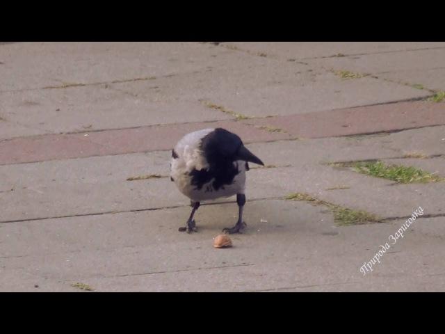 Ворона щелкает грецкие орехи Raven snaps walnuts