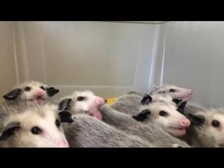 Опоссумы едят бананы/opossums eating bananas