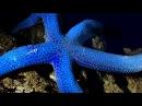 Linckia laevigata / Blue Starfish in big haste - Time lapse movie