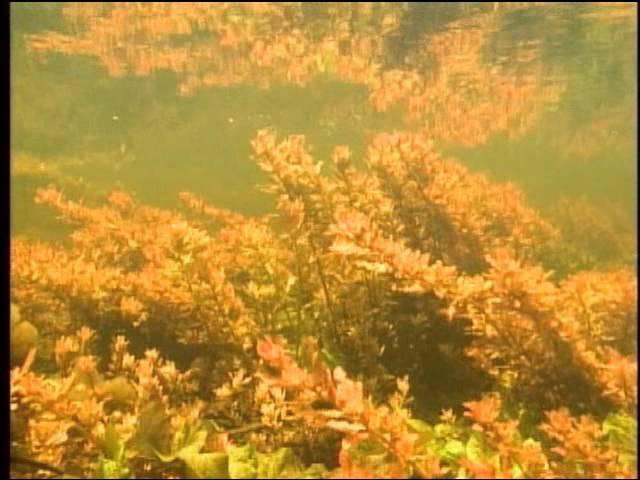 Amazon Pantanal Part02 アマゾン パンタナル水中 BF