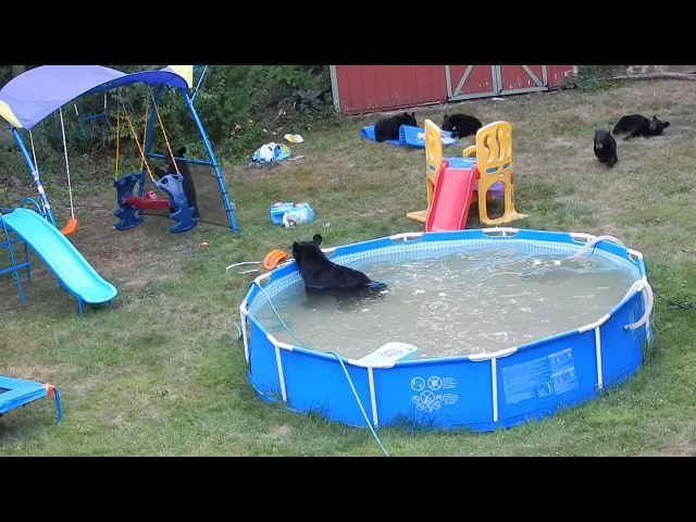 A bear family takes a dip in our pool Part III