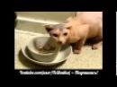 Прикольное видео Жадина говядина Уморное видео про кота