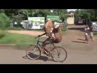 Парень везет на велосипеде двух овец