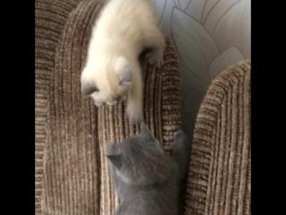 Продаются шотландские котята !