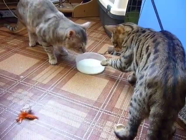 Два кота деликатно делят миску с молоком
