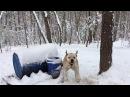 Jam Up Bulldogs Winter yard video 2017 Ближайшие родственники пит бульдогов от Хана и Беллы бульдоги кровей Kinghaven