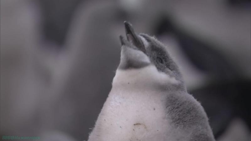 BBC «Жизнь (05). Птицы» (Познавательный, природа, животные, 2009)