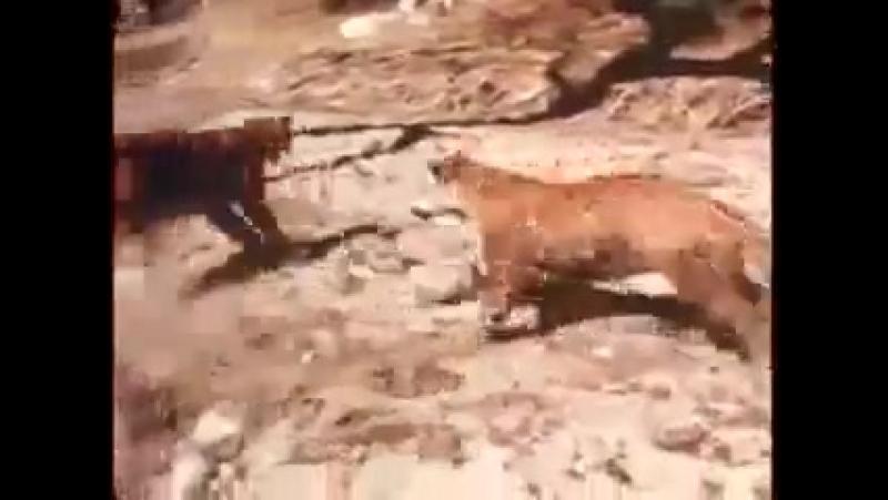 Самка ягуара против пумы