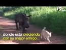 Rinoceronte que perdió a su mamá es el mejor amigo de un gato