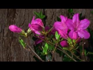 УНИКУМ. Уникальное видео об том как распускаются цветы.