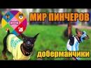Пинчер, Доберман, Цвергпинчер