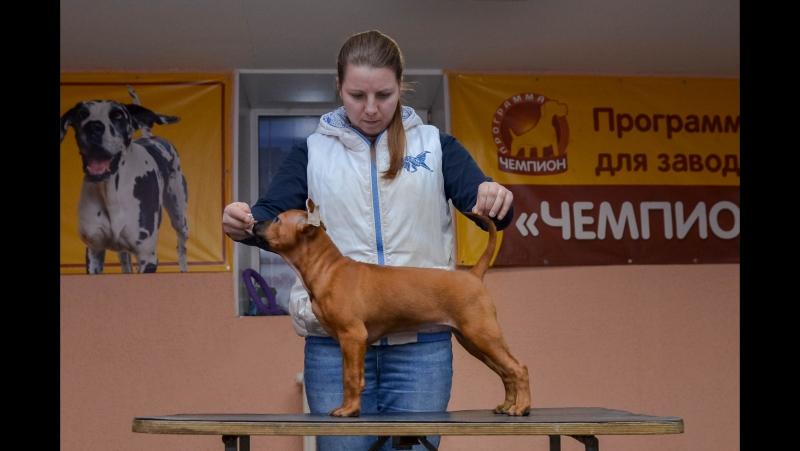Thai Ridgeback Puppy ❤ Тайский риджбек щенок ❤ Lothy Melissa et Tar-menel ❤
