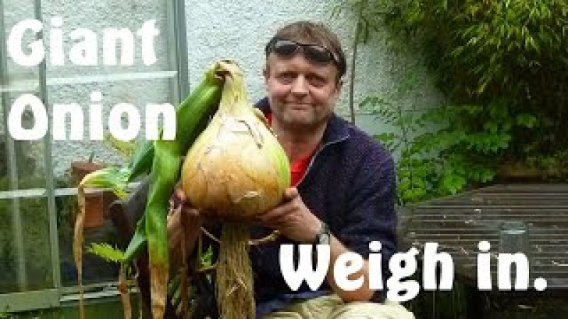 Allotment Diary Weighing this years Giant Onion