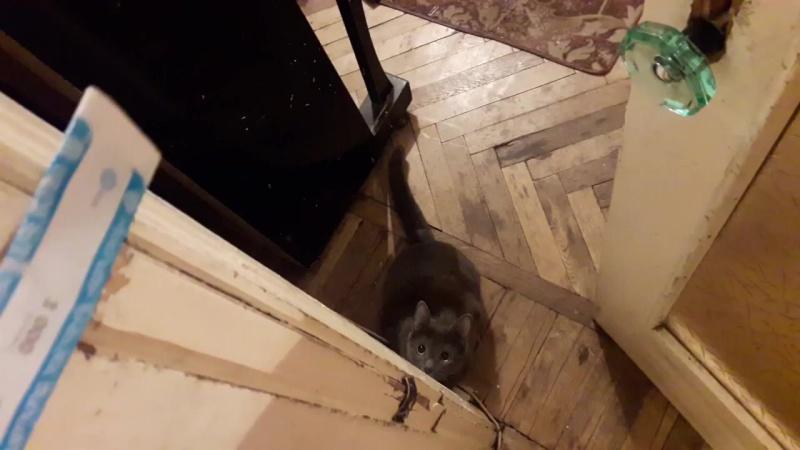 Почему кошка играет ,Русская голубая кошка,кошка играет